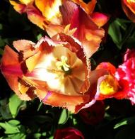 roses, flowers, gardening, summer